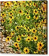 A Group Of Bossoming Black-eyed Susans Acrylic Print