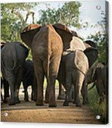 A Herd Of Elephants Heading Away From Us Acrylic Print