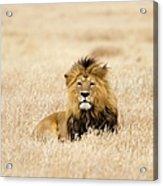A Lion Acrylic Print
