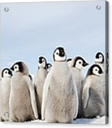 A Nursery Group Of Emperor Penguin Acrylic Print