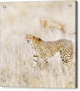 A Pair Of Cheetahs Move Steathily Through The Long Grass Of The  Acrylic Print