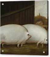 A Pair Of Pigs Acrylic Print