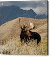 A Really Big Moose Acrylic Print