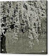 A Single Cherry Tree In Bloom Acrylic Print