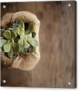 A Small Succulent Plant In A Container Acrylic Print