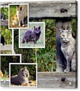 A Variety Of Cats Acrylic Print