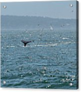 A Whale's Tail Above Water With Sail Boat In The Background Acrylic Print