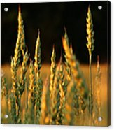 A Wheat Field Towards The End Of The Day Acrylic Print