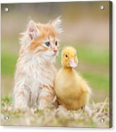 Adorable Red Kitten With Little Duckling Acrylic Print