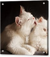 Adorable White Persian Cats Mother Acrylic Print