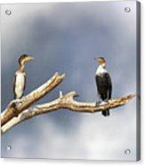 Adult And Juvenile Cormorants At Lake Naivasha Acrylic Print