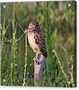 Adult Burrowing Owl Acrylic Print