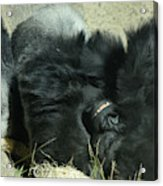 Adult Silverback Gorilla Laying Down With Anguished Expression Acrylic Print