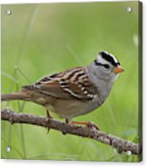 adult White-crowned Sparrow Acrylic Print