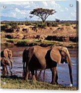 African Elephants Loxodonta Africana Acrylic Print