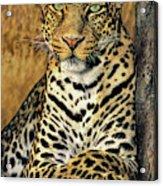 African Leopard Portrait Wildlife Rescue Acrylic Print