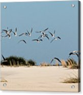 African Skimmers Acrylic Print
