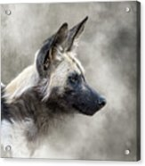 African Wild Dog In The Dust Acrylic Print