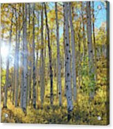 Afternoon Aspens Acrylic Print