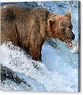 Alaska Brown Bear Catching Salmon Acrylic Print