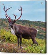 Alaska Caribou In Denali National Park Acrylic Print