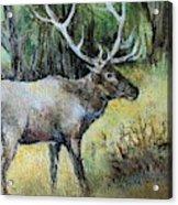 Alaska Elk Acrylic Print