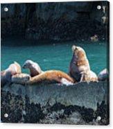Alaska Steller Sea Lions Acrylic Print