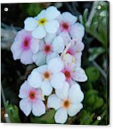 Alpine Rockjasmine Up Close Acrylic Print