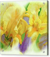 Amenti Yellow Iris Flowers Acrylic Print