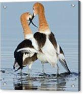 American Avocets, Courtship Dance Acrylic Print