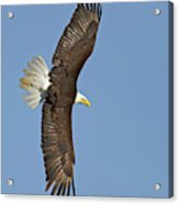 American Bald Eagle In Flight IIi Acrylic Print