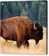 American Bison Buffalo Side Profile Acrylic Print