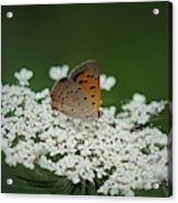 American Copper On Queen Anne's Lace Acrylic Print