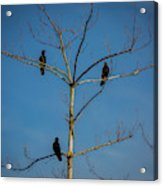 American Crows In Bare Tree Acrylic Print