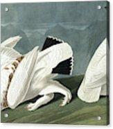 American Ptarmigan, Tetrao Mutus, White Tailed Grous, Tetrao Leucurus Acrylic Print