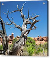 Ancient Dead Juniper With Character Acrylic Print