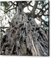 Ancient Olive Tree In The Masai Mara Acrylic Print