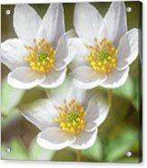 Anemone Nemorosa 2 Acrylic Print