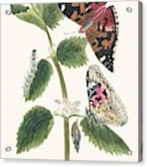 Antique Watercolor Illustration Of Nettle Butterfly In Various Life Stages Published In 1824 By M.p. Acrylic Print