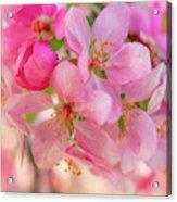 Apple Blossom 12 Acrylic Print