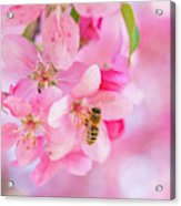 Apple Blossom 2 Acrylic Print