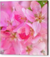 Apple Blossom 5 Acrylic Print