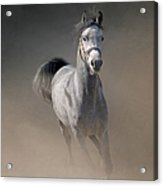 Arabian Horse Running Through Dust Acrylic Print