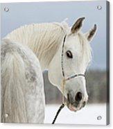 Arabian Stallion Acrylic Print