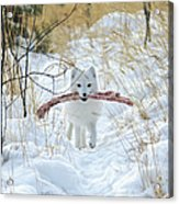 Arctic Fox Alopex Lagopus In White Acrylic Print