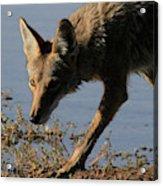 Arizona Coyote  Acrylic Print