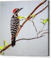 Arizona Ladderback Woodpecker Acrylic Print