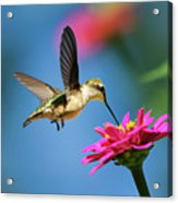 Art Of Hummingbird Flight Acrylic Print