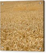 A Field Of Wheat Acrylic Print