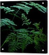 Asparagus Fern Acrylic Print